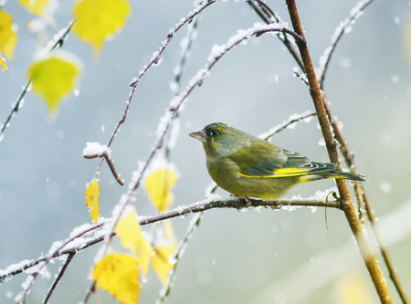 portrait of a beautiful cute green bird sitting in the bright autumn garden on a branch during the first snowfall