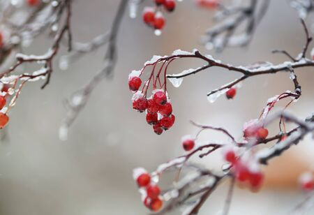 cold ripe red berries of viburnum in the garden covered in rain drops and crystal white snow