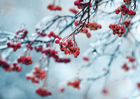 ripe bright red Rowan berries in the garden are covered in raindrops and crystal white snow Lizenzfreie Bilder