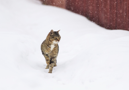 textured striped domestic cat is walking on the street in winter snow Фото со стока