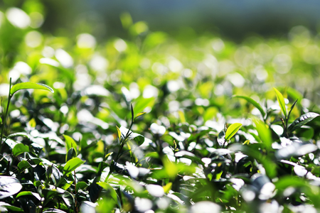 green succulent leaves grow in mountainous tea plantation in the day time