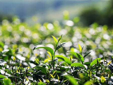 fresh green juicy leaves of tea growing on the mountain Sunny slope Stok Fotoğraf