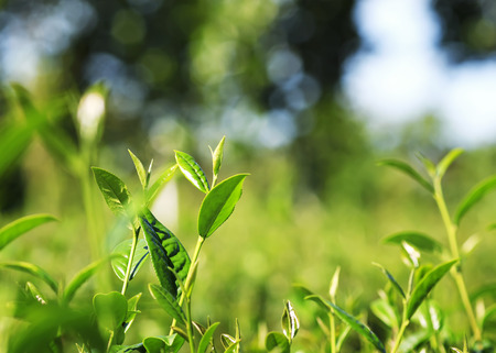 lots of fresh green juicy leaves of tea growing on the mountain Sunny slope Stok Fotoğraf