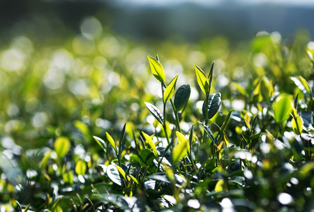 fragrant fresh green juicy leaves of tea growing on the mountain Sunny slope Stok Fotoğraf