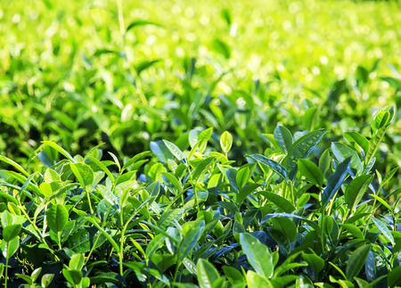 many fragrant fresh green juicy leaves of tea growing on the mountain Sunny slope