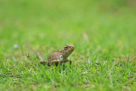 the funny little lizard crawl and hunt in the green meadow of lush grass