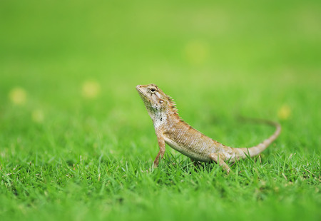 portrait of cute little lizards hunt among the lush green grass on a meadow