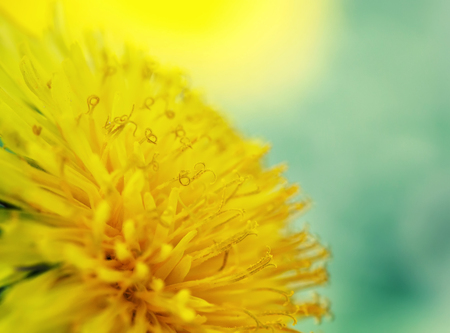 bright sunshine yellow dandelion flower is fragrant nectar closeup Stock Photo