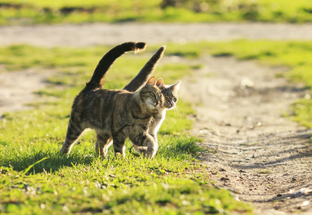 love couple cats walking on the bright green meadow in Sunny spring garden Imagens