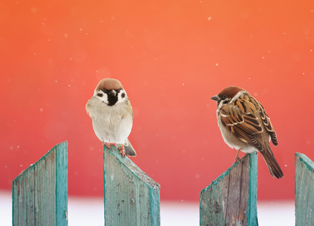 two funny birds are sitting on a wooden fence at Christmas  in snow Stock Photo