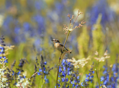 bird whinchat sitting among the grass and flowers on the summer meadow