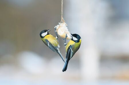 two funny little birds sit and eat bacon in the winter garden on the bird feeder Stock Photo