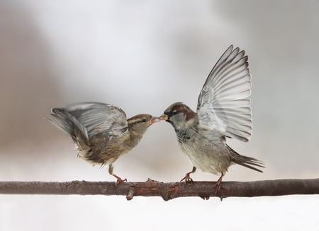 couple of cute little birds sparrows arguing on the branch flapping wings and beaks locked together Stock Photo