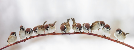 pack a lot of funny little birds sparrows sitting on a branch in winter garden, hunched
