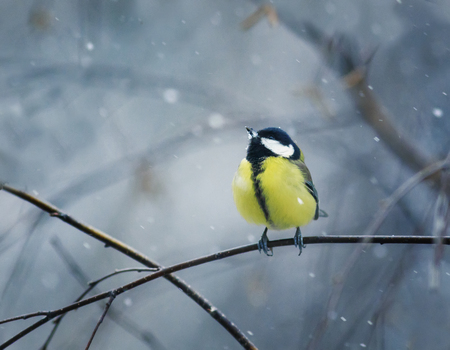 funny bird sits hunched on a branch in winter forest in the snow Stock Photo