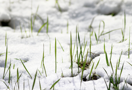 tender green shoots of fresh grass make their way from under the snow in the spring under the first rays of the sun