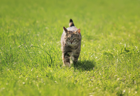 young tabby cat fun stepping on a bright green meadow in spring
