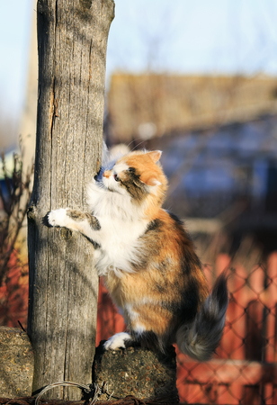 beautiful fluffy cat playing and trying to climb on a wooden post in the spring outside in the Sunny garden Stockfoto