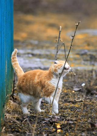 schattige rode kat loopt in de lente in de tuin, snuiven en streelde op de struiken