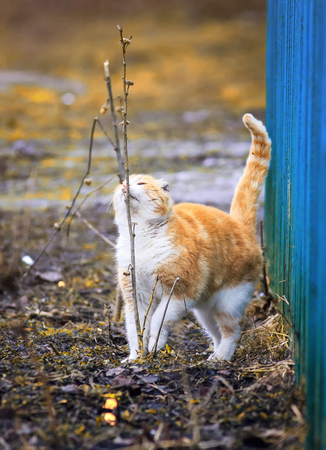 cute ginger cat went for a walk in the spring outside and sniffing blades of grass Stockfoto
