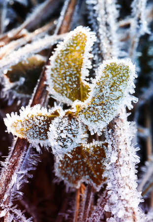beautiful shiny spines of carved frost cover the grass on the morning of the winter
