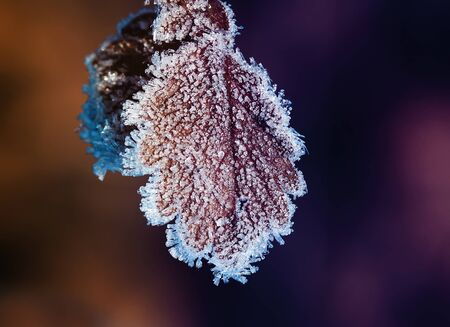last leaves of the autumn tree hanging covered with sparkling crystals of frost in the garden Stockfoto