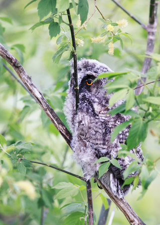 Funny Fluffy Nestling Owls Sitting Amongst The Leaves Of A Tree In Forest