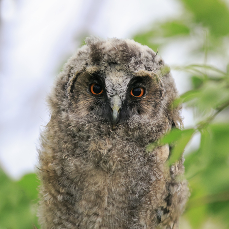 portrait of smart funny fluffy nestling owls sitting amongst the leaves of a tree in the forest Stockfoto