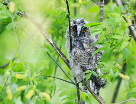 portrait of smart, funny, fluffy owls hid and sits among the leaves of a tree in the forest