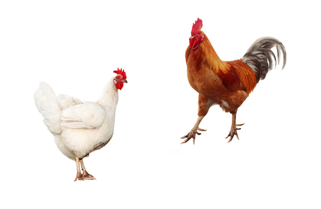 two birds, chicken and a bright red rooster on a white isolated background
