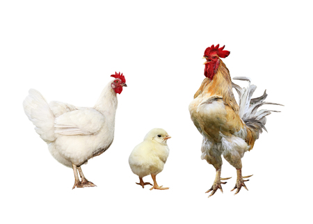 Familie portret pluimvee kip, rode haan felgeel kleine kip op een witte geïsoleerde achtergrond Stockfoto - 93560316