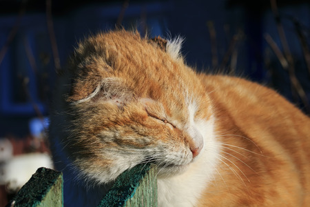 old ginger cat rubbing against wooden Sabor in March sitting on the fence in the village Banco de Imagens