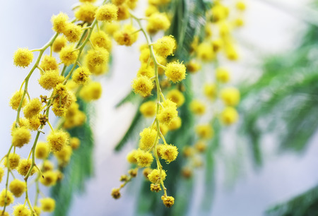 decorative beautiful sprig of Mimosa with delicate yellow flowers Stock Photo