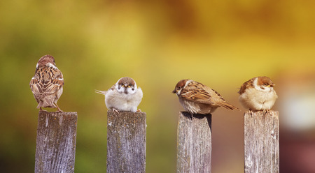 funny little birds, the sparrows sitting with Chicks on an old wooden fence Stock Photo