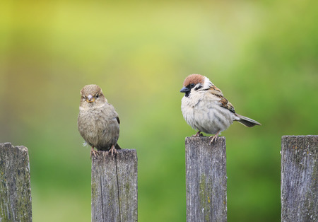 two birds funny little Sparrow sitting on an old wooden fence in the garden in the spring