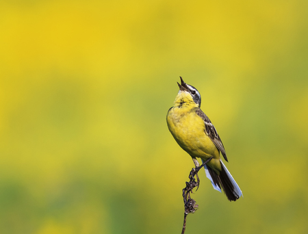 a bright bird is the yellow Wagtail sings on a summer solar meadow
