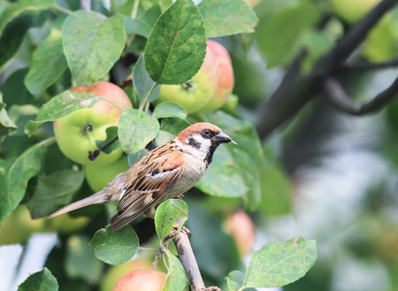 a bird a Sparrow catches insects pests in the garden on a tree with red ripe apples
