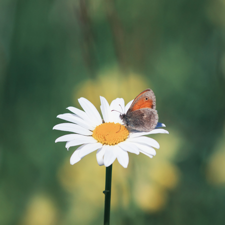 beautiful little butterfly sitting on a Daisy flower on a summer meadow Standard-Bild
