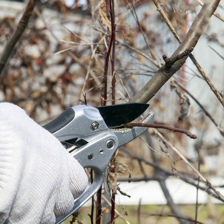 a seasonal spring garden work cutting the extra knots metal shears