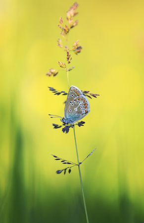 cute little blue butterfly Polyommatus Icarus sits on a blade of grass on a bright summer Sunny meadow Standard-Bild