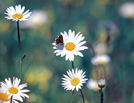 beautiful little butterfly sitting on a Daisy flower on a summer solar meadow