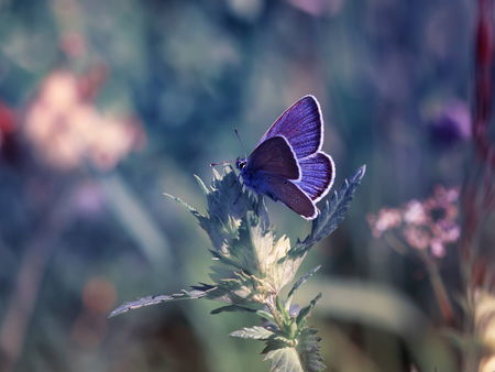 cute little blue butterfly, copper-butterfly sits on a beautiful  fairy meadow Standard-Bild