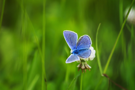 beautiful little blue butterfly sitting on a flower clover in the summer on a Sunny day Standard-Bild