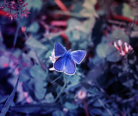 cute little blue butterfly, copper-butterfly sits on a beautiful lilac fairy meadow Standard-Bild