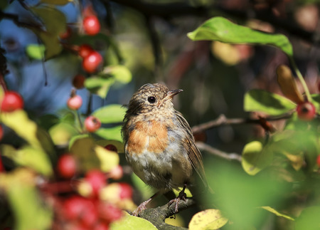 a funny little bird, the European Robin sitting in the garden among the bright red juicy berries Standard-Bild