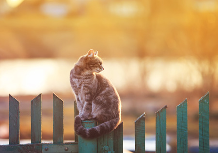young beautiful cat sits in the village of on the fence evening during sunset Standard-Bild