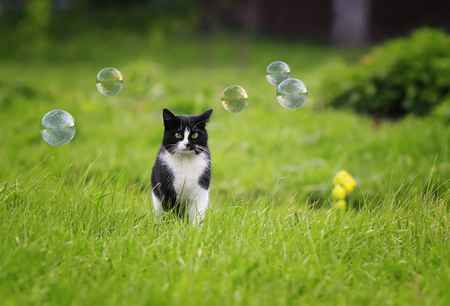 a beautiful cat walks through a lush green meadow against the background of shimmering bubbles in the summer Standard-Bild