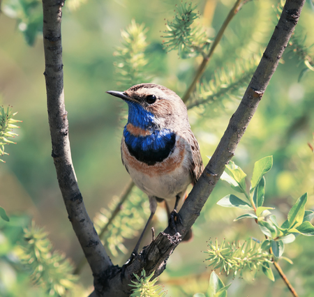 bright beautiful male Bluethroat bird sitting on a branch fluffy willow in the may Park Standard-Bild