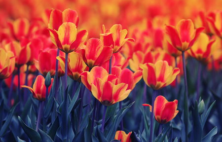 blooming field with bright beautiful buds of a Tulip growing in the spring Standard-Bild