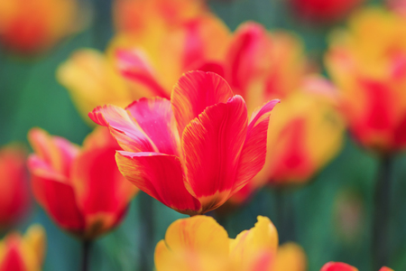 beautiful bright flowers and buds of a Tulip blooming in the spring in the Park